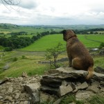 Spike on the lookout at Nappa Scar, Summer 2013