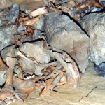 North End Pot bone pile 1987. Red deer and auroch bones, human, dog, wolf, pig and sheep have also been found.